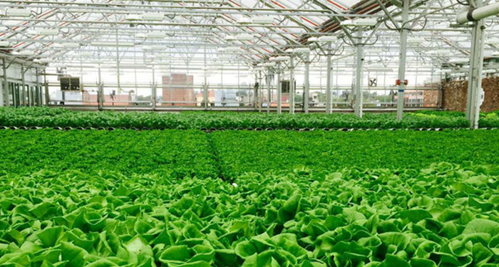 A view inside a Gotham Greens greenhouse. [Provided]
